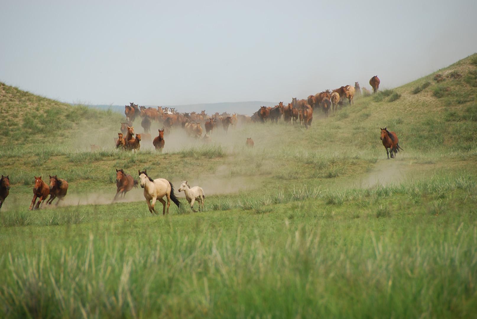 Pferde in der mongolischen Steppe