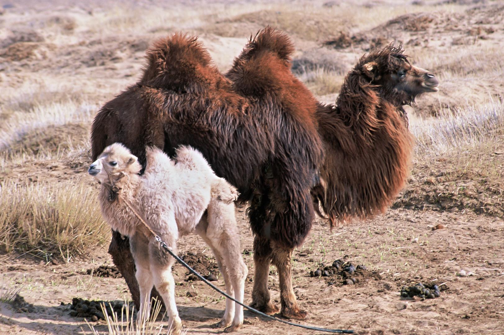Das Kamelbaby braucht Muttermilch...